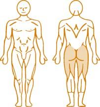 Мышцы, нагружаемые при работе на пневматическом тренажере Leg Curl Enraf Nonius
