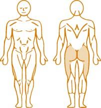 Мышцы, нагружаемые при работе на пневматическом тренажере Leg Press Enraf Nonius