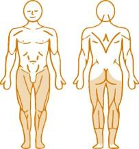 Мышцы, нагружаемые при работе на пневматическом тренажере Leg Extension Enraf Nonius