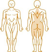 Мышцы, нагружаемые пневматическим тренажером для спины Low Back Enraf Nonius
