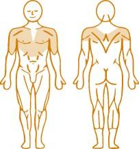 Мышцы, нагружаемые при работе на пневматическом тренажере Pull Down Enraf Nonius