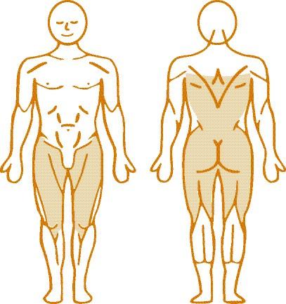 Мышцы, нагружаемые при работе на пневматическом тренажере Total Hip Enraf Nonius